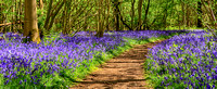 Path through a bluebell wood